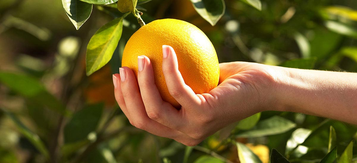 citrus fruit in the hand of a citrus farmer