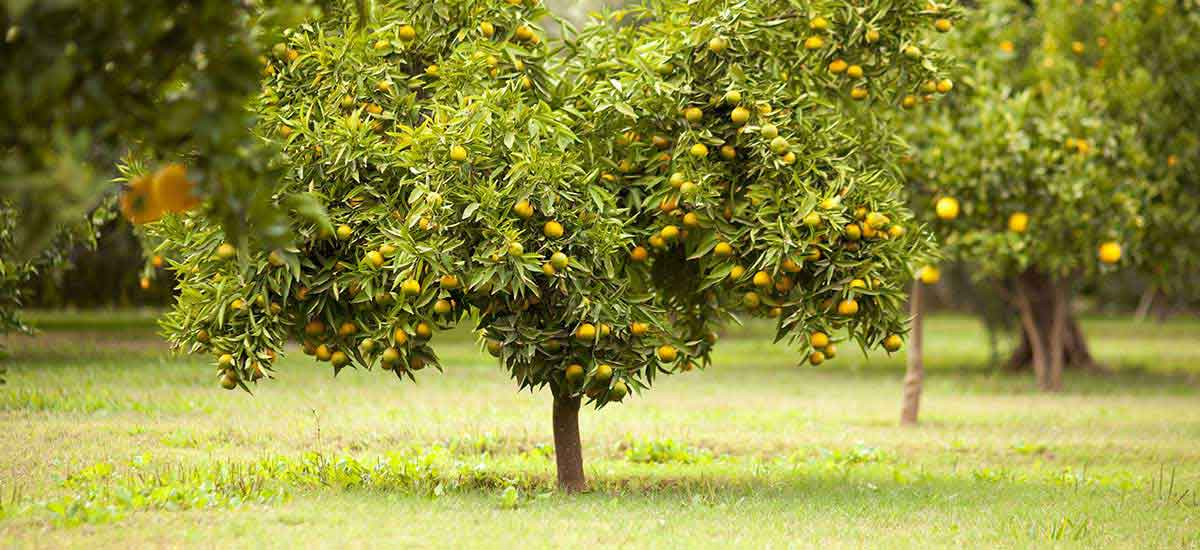 How to set up a citrus grove